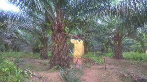Ivory Coast palm oil worker harvesting oil pods - Palm Oil Cote d'Ivoire